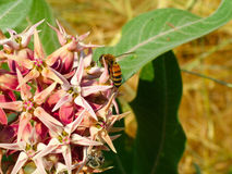 Flor rosada brillante maravillosamente única con la abeja Imagenes de archivo