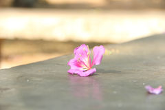 Flor rosada caida en el hormigón Foto de archivo libre de regalías