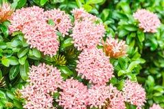Flor rosada, coccinea de Ixora Imágenes de archivo libres de regalías