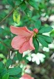 Flor rosada colgante imágenes de archivo libres de regalías