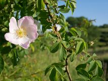 Flor rosada Color de rosa salvaje rosado o la perro-rosa florece con las hojas Fotografía de archivo libre de regalías