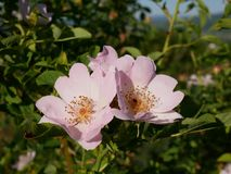 Flor rosada Color de rosa salvaje rosado o la perro-rosa florece con las hojas Fotos de archivo