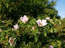 Flor rosada Color de rosa salvaje rosado o la perro-rosa florece con las hojas Imagenes de archivo