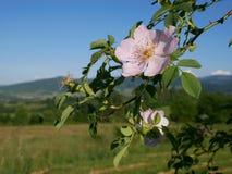 Flor rosada Color de rosa salvaje rosado o la perro-rosa florece con las hojas en fondo de las montañas Foto de archivo