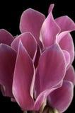 Flor rosada compleja Foto de archivo libre de regalías
