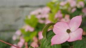 Flor rosada con cuatro pétalos Foto de archivo