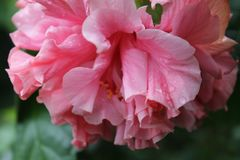 Flor rosada con descensos y fondo bluried Imagen de archivo libre de regalías