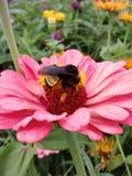 Flor rosada con el abejorro foto de archivo