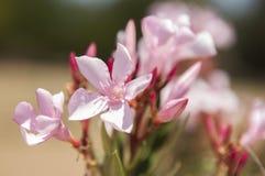 Flor rosada con el cielo azul Imagen de archivo libre de regalías