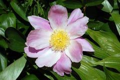 Flor rosada con el primer de centro amarillo Fotografía de archivo libre de regalías