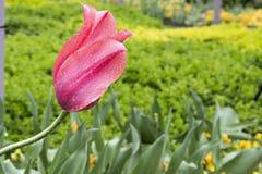 Flor rosada con gotas de lluvia Fotografía de archivo libre de regalías