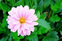 Flor rosada con la abeja Fotografía de archivo