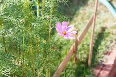Flor rosada con la abeja Imagenes de archivo