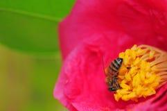 Flor rosada con la abeja Fotografía de archivo libre de regalías