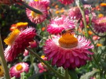 Flor rosada con la abeja de la miel Imágenes de archivo libres de regalías