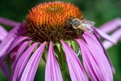 Flor rosada con la abeja de la miel Imagenes de archivo