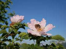 Flor rosada con la abeja en ella Color de rosa salvaje rosado o el dogrose florece con las hojas en fondo del cielo azul Fotos de archivo libres de regalías