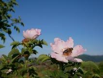 Flor rosada con la abeja en ella Color de rosa salvaje rosado o el dogrose florece con las hojas en fondo del cielo azul Imagen de archivo libre de regalías