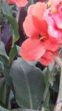 Flor rosada con la abeja que toma nector Imagenes de archivo