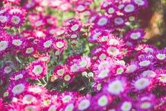 Flor rosada con la luz caliente del sol Foto de archivo