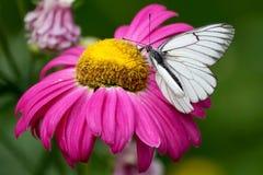 Flor rosada con la mariposa blanca Fotografía de archivo