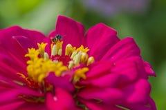 Flor rosada con la pequeña abeja Foto de archivo libre de regalías