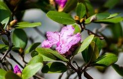 Flor rosada con las ramas y las hojas Fotos de archivo libres de regalías