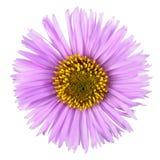 Flor rosada con los pétalos largos aislados en el fondo blanco Flor brillante hermosa del aster Fotos de archivo libres de regalías