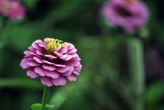 Flor rosada con una abeja Imagen de archivo