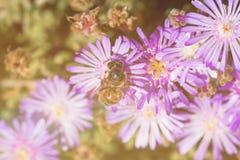 Flor rosada con una abeja en ella en la estación de verano Abeja en la flor Fotografía de archivo libre de regalías