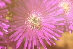 Flor rosada con una abeja en ella en la estación de verano Abeja en la flor Fotografía de archivo