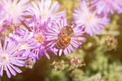 Flor rosada con una abeja en ella en la estación de verano Abeja en la flor Fotos de archivo