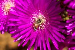 Flor rosada con una abeja en ella en la estación de verano Abeja en la flor aislada Foto de archivo