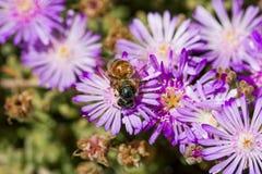 Flor rosada con una abeja en ella en la estación de verano Abeja en la flor aislada Imagen de archivo