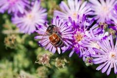 Flor rosada con una abeja en ella en la estación de verano Abeja en la flor aislada Imagenes de archivo