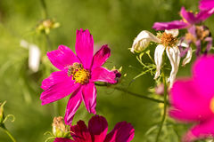Flor rosada con una abeja que se sienta en ella Imágenes de archivo libres de regalías