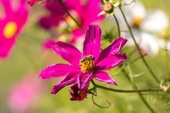 Flor rosada con una abeja que se sienta en ella Fotografía de archivo libre de regalías