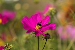 Flor rosada con una abeja que se sienta en ella Fotografía de archivo