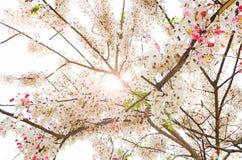Flor rosada de desear el árbol, ducha rosada, craib del bakeriana de la casia Fotografía de archivo