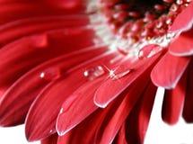 Flor rosada de Gerber Fotografía de archivo