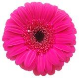Flor rosada de Gerber en blanco Foto de archivo