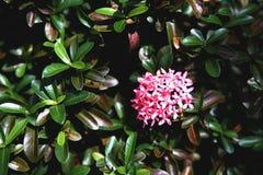 Flor rosada de Ixora Fotos de archivo