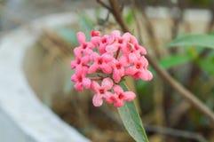 Flor rosada de la actitud del pamama Foto de archivo