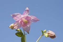 Flor rosada de la aguileña Foto de archivo