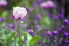 Flor rosada de la amapola Fotos de archivo libres de regalías