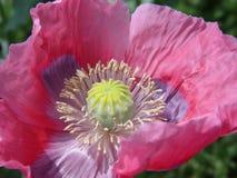 Flor rosada de la amapola Fotos de archivo