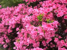 Flor rosada de la azalea Imágenes de archivo libres de regalías