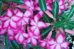 Flor rosada de la azalea en jardín Fotos de archivo libres de regalías