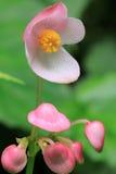 Flor rosada de la begonia Foto de archivo