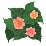 Flor rosada de la begonia Imagenes de archivo